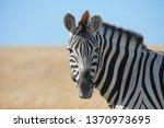 Beautiful Zebra Portrait