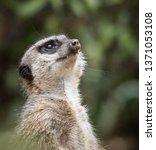 a meerkat standing and looking...   Shutterstock . vector #1371053108