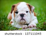 Stock photo english bulldog puppy outdoors 137111045