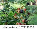 Ripening Blackberries On A Bush ...