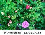 flowers bloom in the garden... | Shutterstock . vector #1371167165