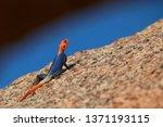 orange and blue colored lizard  ... | Shutterstock . vector #1371193115