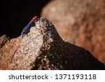 orange and blue colored lizard  ... | Shutterstock . vector #1371193118