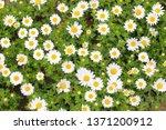 white chrysanthemum north pole... | Shutterstock . vector #1371200912