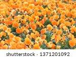orange pansy viola flower plant ... | Shutterstock . vector #1371201092