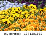 colourful pansy viola flower... | Shutterstock . vector #1371201992