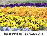 colourful pansy viola flower... | Shutterstock . vector #1371201995