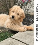Playful Goldendoodle Puppy