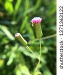 emilia sonchifolia or lilac... | Shutterstock . vector #1371363122