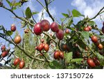 Tamarillo Tree With Fresh...