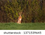 Stock photo european hare lepus europaeus 1371539645