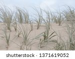 Windswept Coarse Grass On Sand...