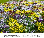 colourful flowers in a garden ... | Shutterstock . vector #1371717182
