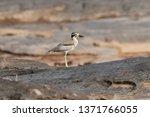 beautiful bird  great thick... | Shutterstock . vector #1371766055