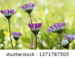 beautiful daisies  top view... | Shutterstock . vector #1371787505