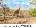wild reticulated giraffe  and... | Shutterstock . vector #137181056