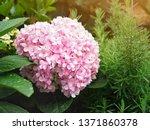close up pink hydrangea... | Shutterstock . vector #1371860378