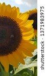 sunflower at changi airport... | Shutterstock . vector #1371983975
