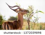 Male Impala Antelope Browsing...