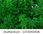 in the garden with natural... | Shutterstock . vector #1372043438