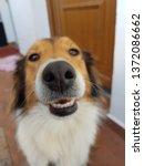 rough collie snout pattern   Shutterstock . vector #1372086662