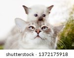Stock photo kitten at mom s cat on the head kitten playing hide and seek with dad cute funny photo about pets 1372175918