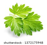 parsley. parsley isolated. | Shutterstock . vector #1372175948