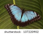 blue butterfly sitting on a leaf   Shutterstock . vector #137220902