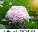 close up pink hydrangea... | Shutterstock . vector #1372285598