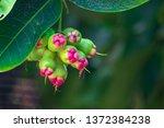 rose apple  thai people called... | Shutterstock . vector #1372384238