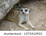 the suricata suricatta or... | Shutterstock . vector #1372414922