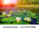 Water Lily On Lake In Summer Day