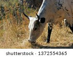 View Of Grey Nguni Cattle...