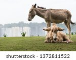 Mother Donkey And Her Baby In...
