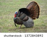 Close Up On Male Turkey On The...
