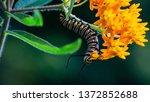 A Monarch Caterpillar Eats...