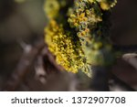 Lichen Growing On Hawthorn...