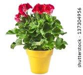 red geranium flower in a yellow ...   Shutterstock . vector #137304956