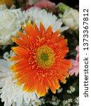 orange gerbera or barberton... | Shutterstock . vector #1373367812