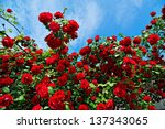 Stock photo red roses on sunny sky background 137343065