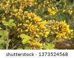 Yellow Wild Gorse Flowers