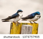 pair of perched tree swallows   ... | Shutterstock . vector #1373757905