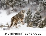 Rare And Elusive Snow Leopard...