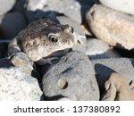 Great Basin Spadefoot among Pebbles