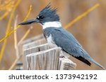 kingfisher perched on wood | Shutterstock . vector #1373942192