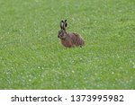 Stock photo european hare in meadow 1373995982