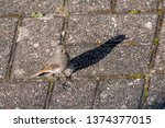 redstart with shadow stands on... | Shutterstock . vector #1374377015