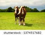 draft horses on mach road on... | Shutterstock . vector #1374517682