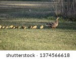 Mother Duck With Ducklings...