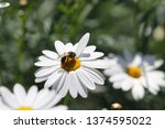 Bellis Perennis In The Insects